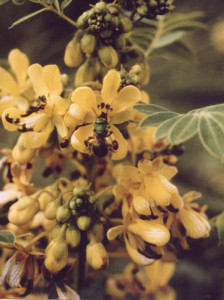 Cassia marilandica L. (Leguminosae), or wild senna, is a deeply-rooted perennial native to the North American prairie. Although this species has been little-used historically, seeds of other Cassia species have been incorporated into poultry and livestock feed.