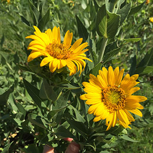 Silphium Sunflower Heads